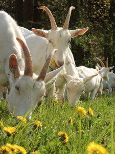 geiten-in-wei-met-paardebloemen